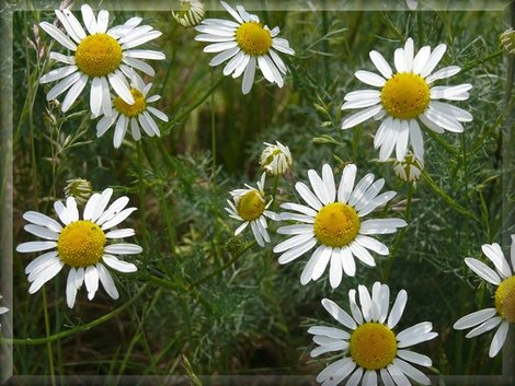 Katalóg kvetov - Kamilka