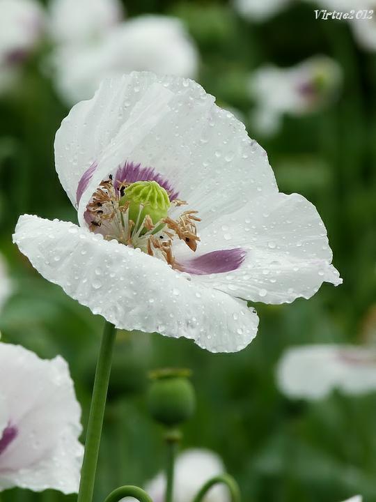 Katalóg kvetov - Mak