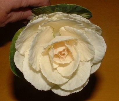 Katalóg kvetov - Ozdobná kapusta