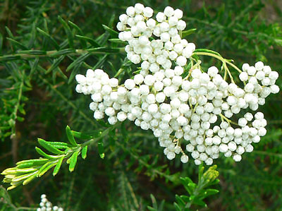 Katalóg kvetov - Ozothamnus