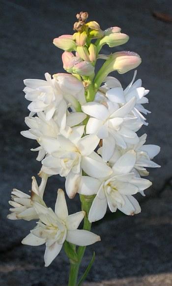 Katalóg kvetov - Polianthes