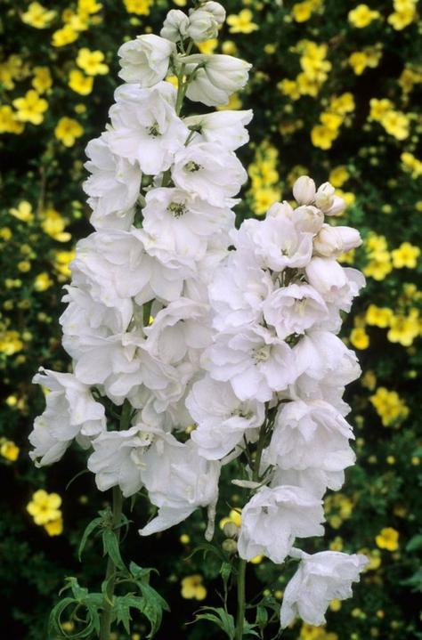 Katalóg kvetov - Stračonôžka