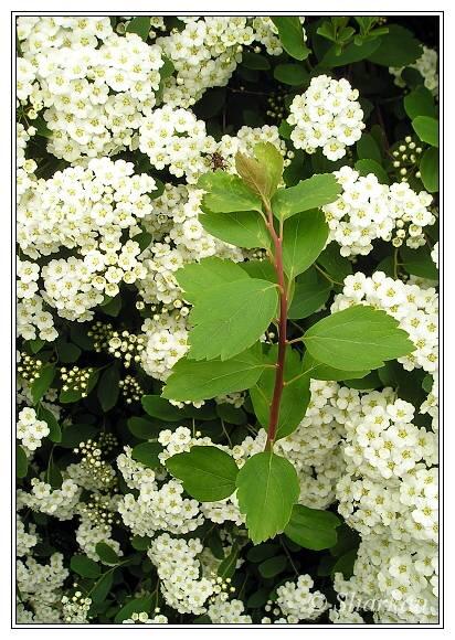 Katalóg kvetov - Tavoľník