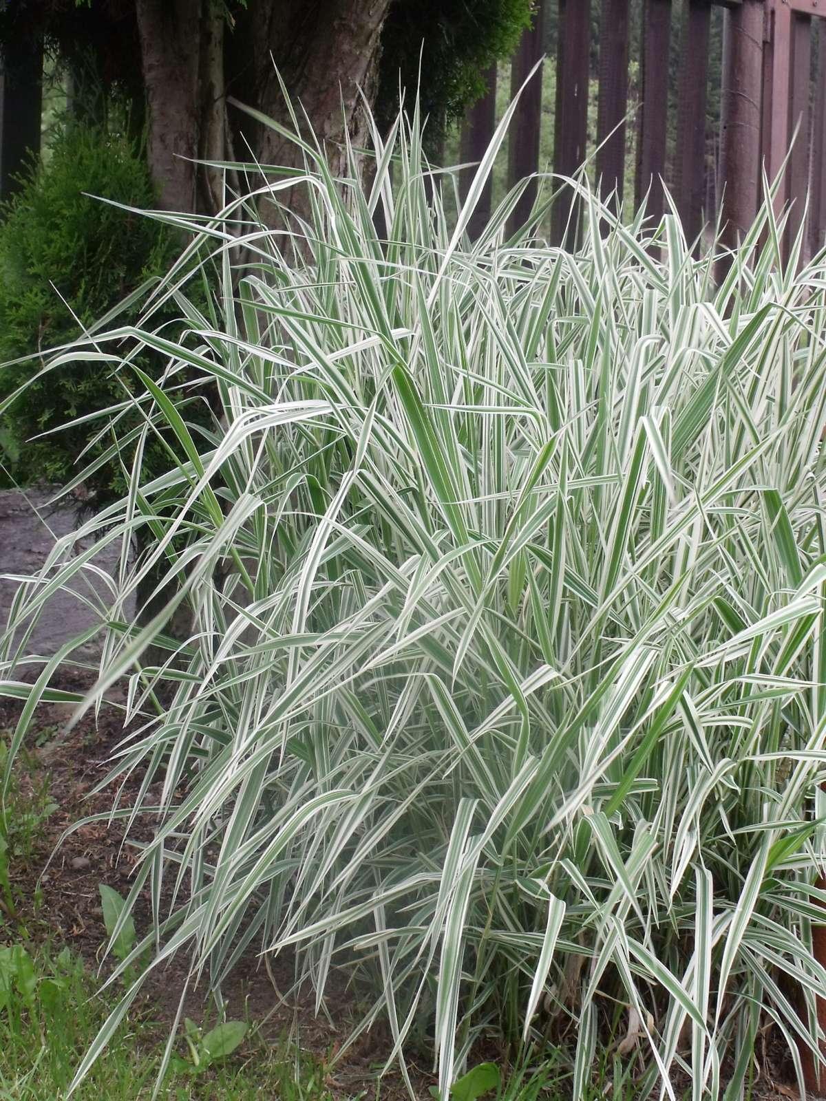 Tráva - ovsik hľuznatý - Obrázok č. 1