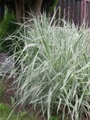Tráva - ovsik hľuznatý,