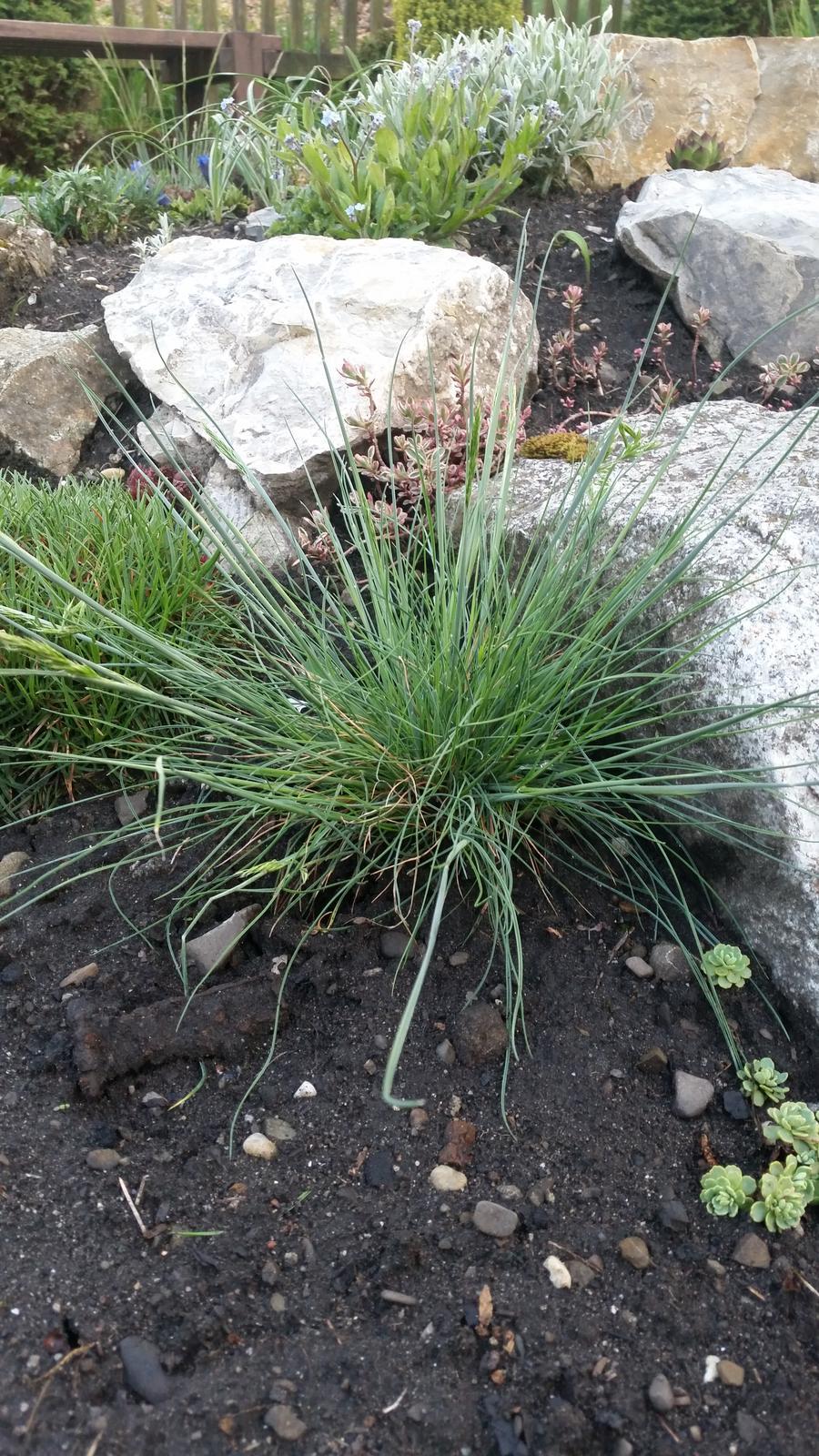 Ozdobná tráva - Obrázok č. 2