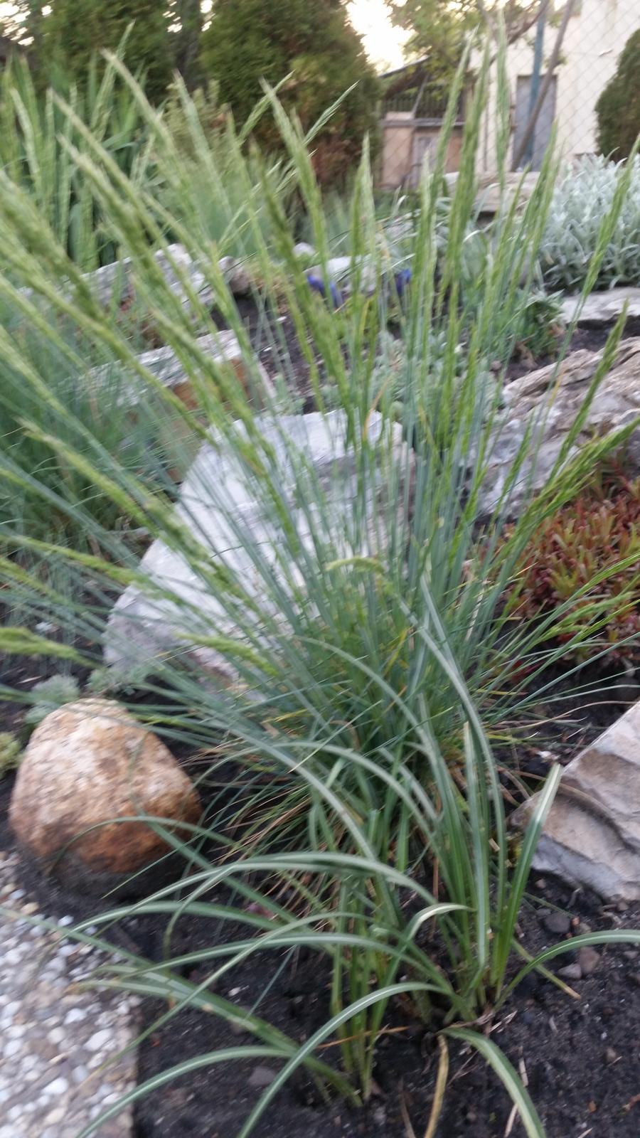 Ozdobná tráva - Obrázok č. 3