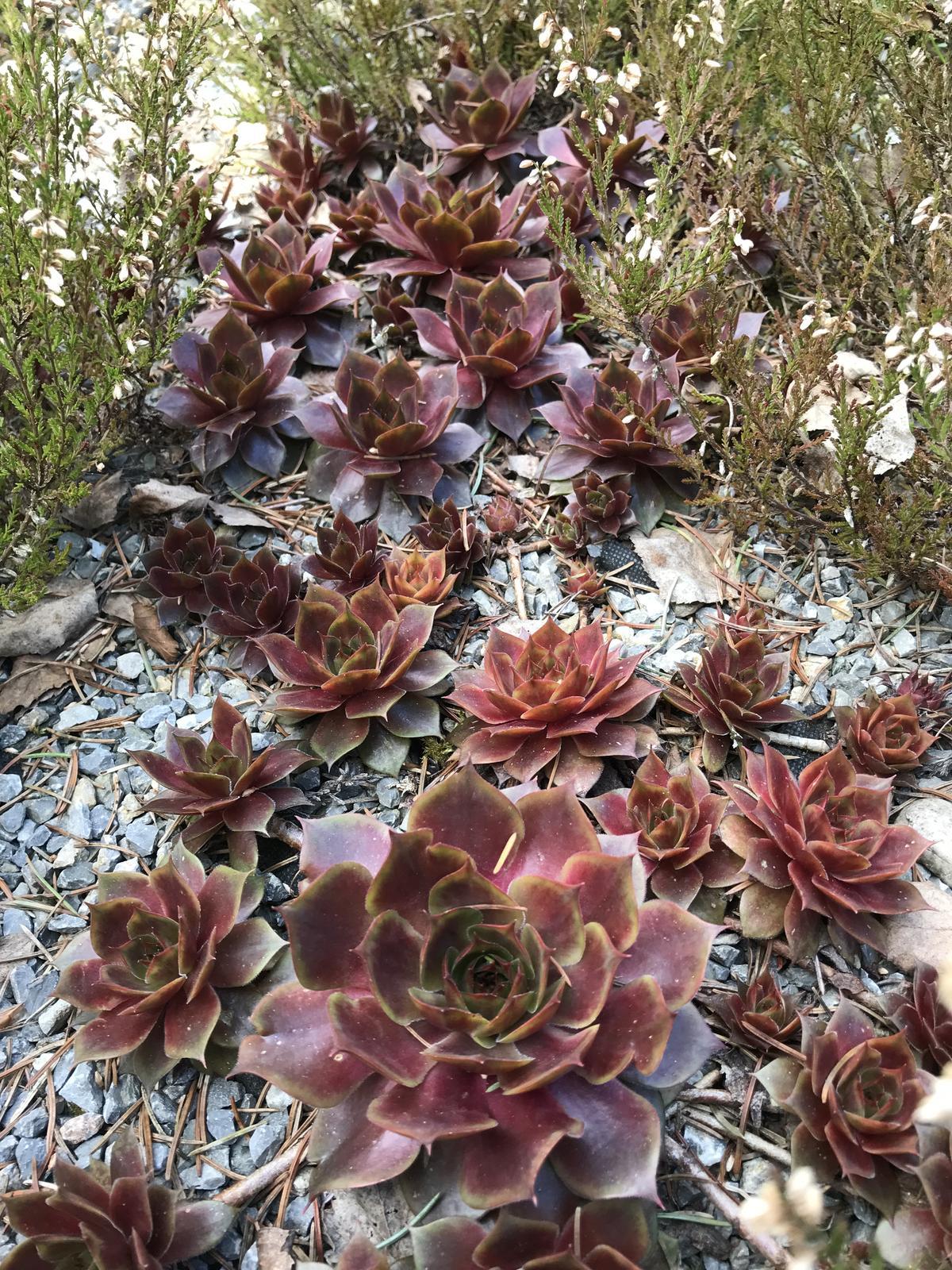 skalné ruže červené - Obrázok č. 1