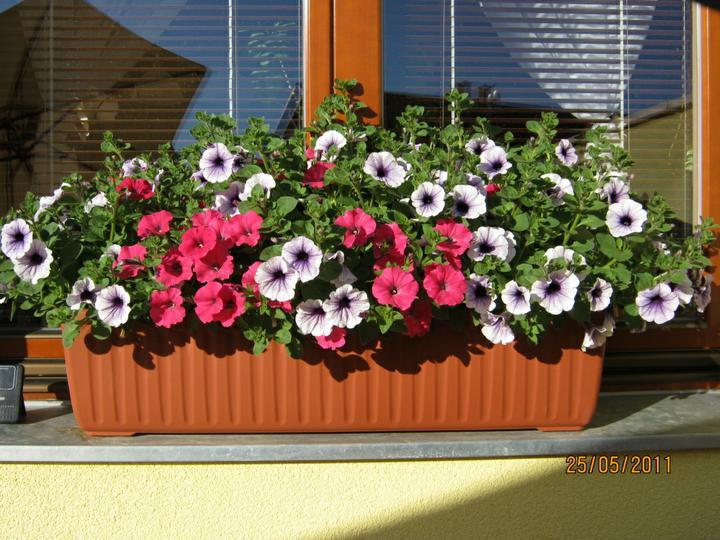 ...  a zabydlujeme se...:-) - letošní Petunky - květen 2011 - zasazeno před měsícem - ani mráz je nespálil:-)