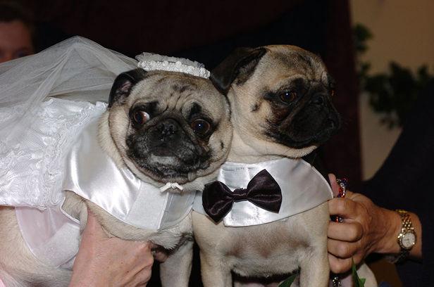 Svadobné mopsíky...alebo Bez psíka sa nevydávam :) - Mopslíky na obrade :)