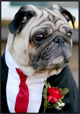 Svadobné mopsíky...alebo Bez psíka sa nevydávam :) - tieto psiky sa nedaju nemilovat :)