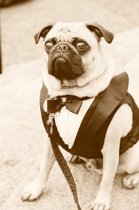 Svadobné mopsíky...alebo Bez psíka sa nevydávam :) - trochu retra...:)