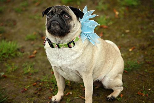 Svadobné mopsíky...alebo Bez psíka sa nevydávam :) - prvá družička :)