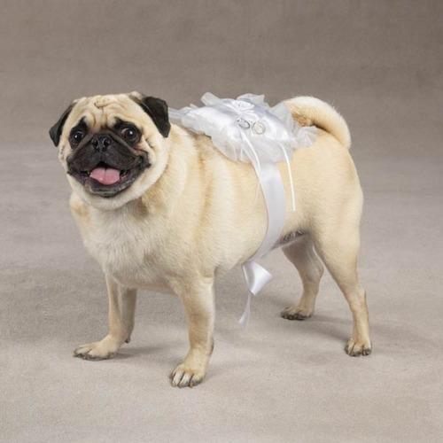 Svadobné mopsíky...alebo Bez psíka sa nevydávam :) - Ring-bearer na pohladanie :)