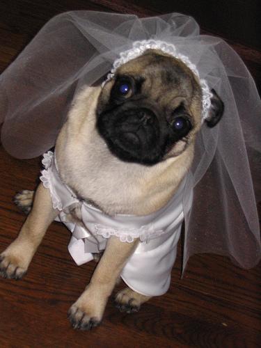 Svadobné mopsíky...alebo Bez psíka sa nevydávam :) - Obrázok č. 26