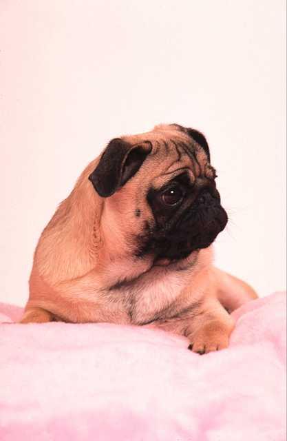 Svadobné mopsíky...alebo Bez psíka sa nevydávam :) - ateliérovka :)