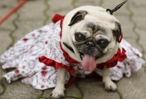 Svadobné mopsíky...alebo Bez psíka sa nevydávam :) - Milá družička :)