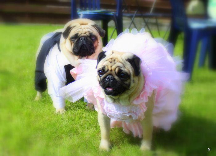 Svadobné mopsíky...alebo Bez psíka sa nevydávam :) - Obrázok č. 32