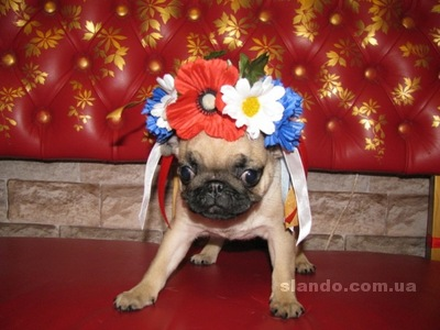 Svadobné mopsíky...alebo Bez psíka sa nevydávam :) - mala ukrajinka :)