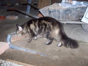 Sousedova kočka velká jako kolečka a chovající se jako pes. :-D