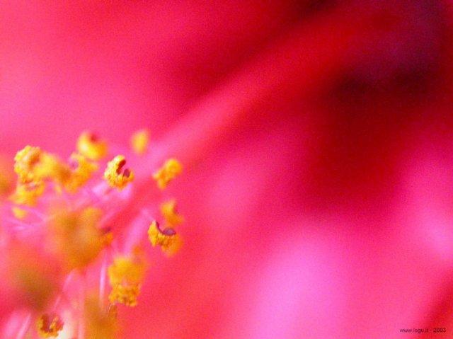 KRÁSNÉ OBRÁZKY NA SVATEBNÍ OZNÁMENÍ - pro milovnice růžové II. :-)