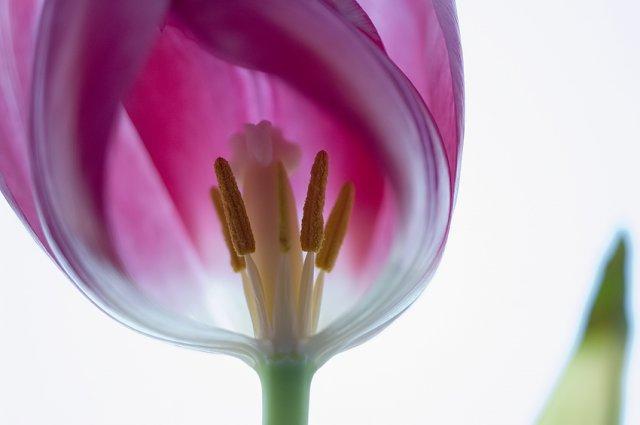 KRÁSNÉ OBRÁZKY NA SVATEBNÍ OZNÁMENÍ - Tulipán