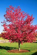cerveny javor