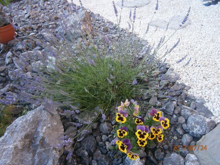Skalka a záhrada - ...sirôtkam sa v skalke celkom páči, čo ma dosť prekvapilo.Kvitnú stále od začiatku jari, ked som ich nasadila....