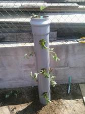 ...jahôdky nasadené, aj som ich rovno hnojila granulovaným hnojivom na jahody...