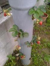 ...takže, priebežný stav je - úrada nejaká je, no listy na rastlinkách vyschýnajú a je ich málo kôli zlému zavlažovaniu. Bolo by treba zväčšiť otvory na hadici, do ktorej sa leje voda.
