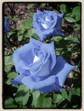 modré růže nádhera