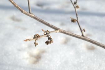 hammamel, mal by kvitnúť vo februári, ale ešte spí ....