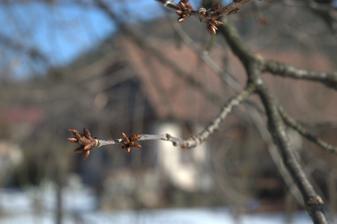 čerešňa, pripravená od jesene :-)