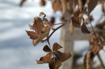 neskutočne fotogenické černice - vždyzelené listy nezvládli tohtoročné mrazy