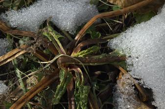 prezimujúci mangold - schovaný pod snehom celkom prežil mrazy
