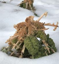 brčkavý kel, schovaná pod snehom bola zelená časť, vrcholec primrzol, ale stále je jedlý a výborný