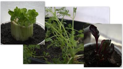 """tomuto sa myslím hovorí """"garbage garden"""" - zeler, mrkva a repa pestovaný z vrškov/spodkov na semená."""