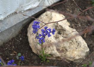 včera vykopané skalničky - horčinka horská