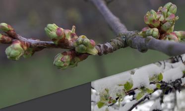 čerešňa: dnešné ranné prekvapko - foto 9 dní dozadu (9.4.) vs. dnes (18.4.2017)