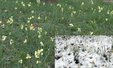 prvosienky v trávniku: dnešné ranné prekvapko - foto 9 dní dozadu (9.4.) vs. dnes (18.4.2017)