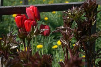 hádam sto-ročné tulipány a rovnako stará pivónia. Dorastie aj do 1,5 metra a má prekrásne voňavé kvety