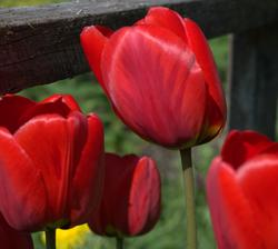 """tie najstaršie sú najodolnejšie, kade-tade rastú po celej záhrade, rozkvitajú oveľa skôr ako """"šľachtičné"""""""