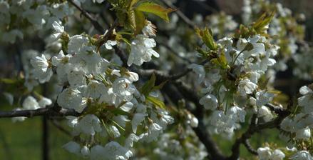 staručká čerešňa - zakvitnutá ako nevesta, žiaľ bolo veľmi chladno a bude slabá úroda, nemal kto opeliť :-(