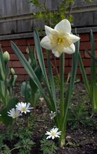 v pozadí šľachtené tulipány, veľmi lenivé vykvitnúť