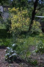 vlaňajší kaleráb na semená