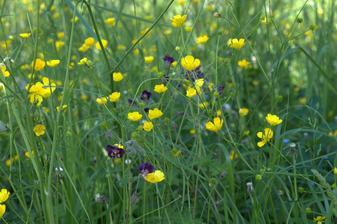 no a naša kvitnúca lúka - koniec mája, je nádherná, vzdušná, plná kvietkov a tráv