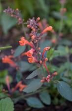 tohtoročný prírastok, agastache Kudos Mandarin
