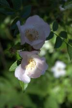 máme aj obyčkovú šípovú ružu