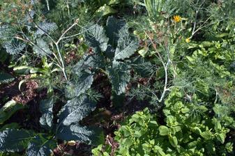 """ďalšia miešanina - modrá listová kapusta (nero di toscana z bio-eko-logic), kôpor, bronzový fenikel """"údený"""" (z bio-eko-logic), nechtíky, medovka, mäta, zeler a zelená cibuľka"""