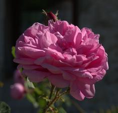 táto má cca 80 rokov a zatiaľ som ju nevidela kvitnúť - bola v predzáhradke